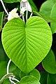 Plant leaf by Trisorn Triboon.JPG