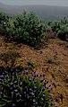Plantas típicas da região, Lavanda (Lavandula latifólia) e estevas (Cistus ladanifer), revestem os montes da Costa Vicentina numa manhã de neblina de Primavera.jpg