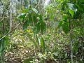 Platymiscium pynnatum. Cristóbal. Carara National Park. Costa Rica.JPG