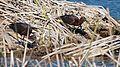 Plegadis falcinellus, Pêra, Algarve, Portugal 1.jpg