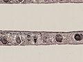 Pleioplana atomata (YPM IZ 073713) 20.jpeg