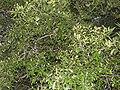 Pleurostylia opposita-3-chemungi-kerala-India.jpg