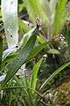 Pleurothallis scoparum (Orchidaceae) (29426519193).jpg