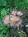 Pleurotus ostreatus 74490083.jpg