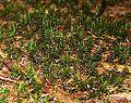Ploník obecný (Polytrichum commune), NPP Strážník.jpg