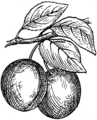Plum (PSF).png