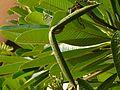 Plumeria obtusa (3437954033).jpg