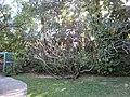 Plumeria rubra - Jardin d'Éden.jpg