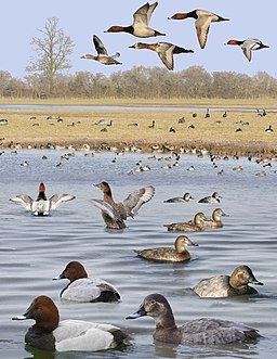 Pochard from the Crossley ID Guide Britain and Ireland