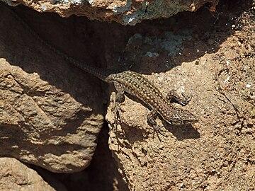 Podarcis hispanica 20100410d.jpg