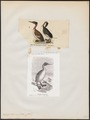Podiceps bicornis - 1700-1880 - Print - Iconographia Zoologica - Special Collections University of Amsterdam - UBA01 IZ17800055.tif