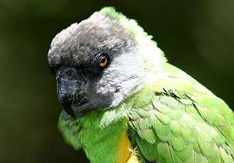 Senegal parrot - Poicephalus senegalus senegalus (yellow vest)