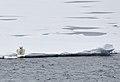 Polar Bear (4371011792).jpg
