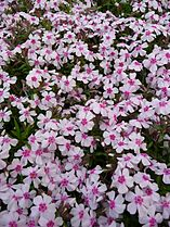 phlox subulata wikimedia commons. Black Bedroom Furniture Sets. Home Design Ideas