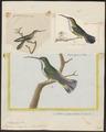 Polytmus mango - 1700-1880 - Print - Iconographia Zoologica - Special Collections University of Amsterdam - UBA01 IZ19100045.tif