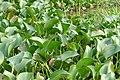 Pomacea canaliculata-Tam Coc (1).jpg