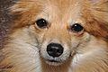 Pomeranian Dog - Kolkata 2011-10-31 6441.JPG
