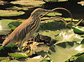 Pond Heron.jpg