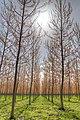 Poplars - Guastalla, Reggio Emilia, Italy - April 8, 2018.jpg