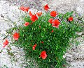 Poppies popped on a wallI.jpg