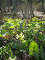 Popradzki Park Krajobrazowy – pierwiosnek wyniosły (Primula elatior).jpg