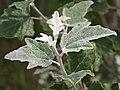 Populus alba Topola biała 2020-06-29 06.jpg