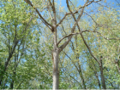 Populus deltoides, Eastern Cottonwood.png