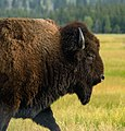 Portrait of a Bison (18998790694).jpg