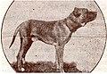 Portuguese Alaunt dog Bocanegra. Cão Alão português.jpg