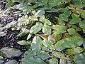 Potamogeton natans sl4.jpg