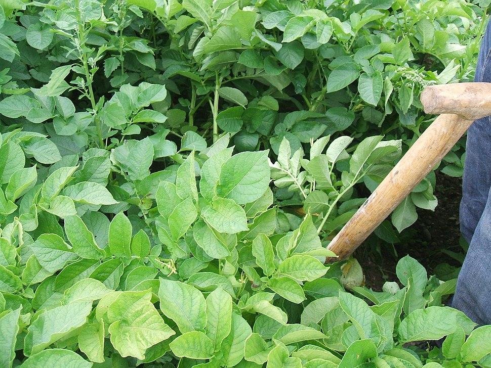 Potato plant prior to harevest