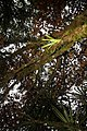 Pouteria caimito 5zz.jpg