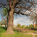 Pravda Oak Zvenygorodka Cherk-246.jpg