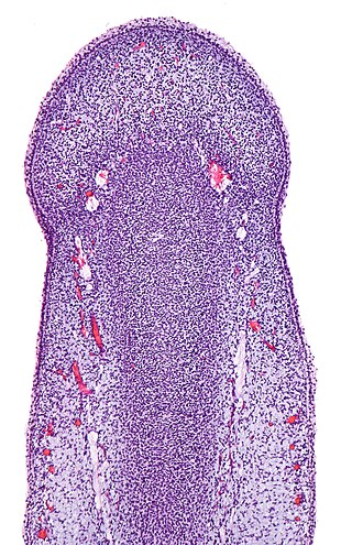 Primordial phallus - Image: Primordial phallus, intermed. mag.1