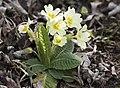 Primula acaulis subsp. acaulis (Çuha çiçeği) 02.jpg