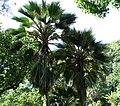Pritchardia hillebrandii (5187874779).jpg