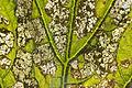 Pro Huerta - Cucurbitaceae - Epilachna paenulata 03 leaf damage.jpg