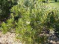 Protea longifolia.JPG