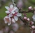 Prunus Persica Bonfire Blossom Nbg (250105007).jpeg
