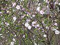 Prunus japonica D5668.JPG