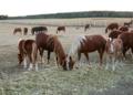 Przewalski's horses at sunset.png