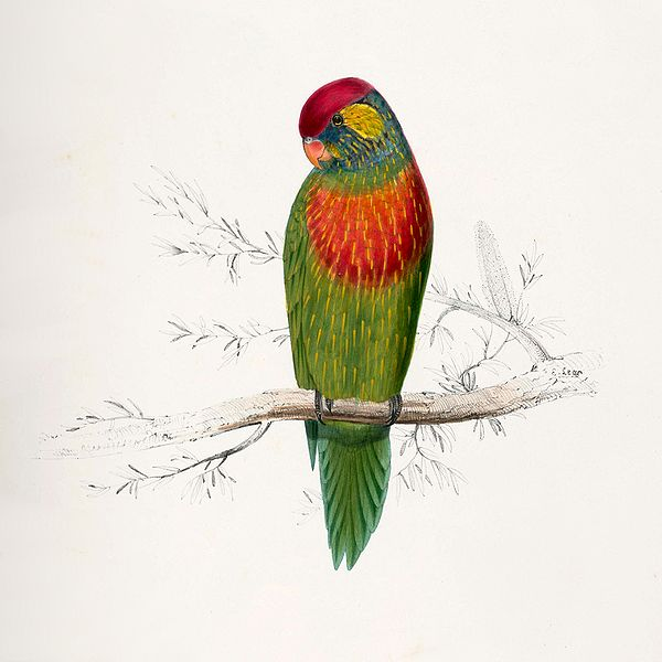 File:Psitteuteles versicolor by Edward Lear.jpg