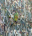 Purple-crowned Lorikeet (36823180145).jpg