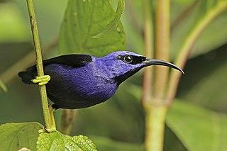 Purple honeycreeper Species of bird