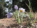Purple pasque flowers in Rocky Mountain National Park. NPS-Jennifer Stegmann (18499059009).jpg