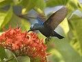 Purple sunbird.jpg