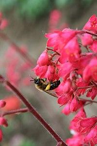 Purpurglöckchen mit Honigbiene 1.jpg