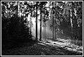 Puszcza Białowieska w okolicach Topiła. - panoramio (3).jpg