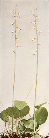 Pyrola asarifolia var. asarifolia WFNY-151A.jpg