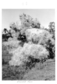 Queensland State Archives 4500 Groundsel in flower c 1950.png